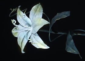 Кованые розы (52 фото): универсальный элемент декора